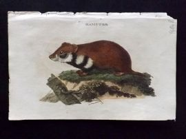 Brightly (Pub) 1811 Antique Hand Col Print. Hamster